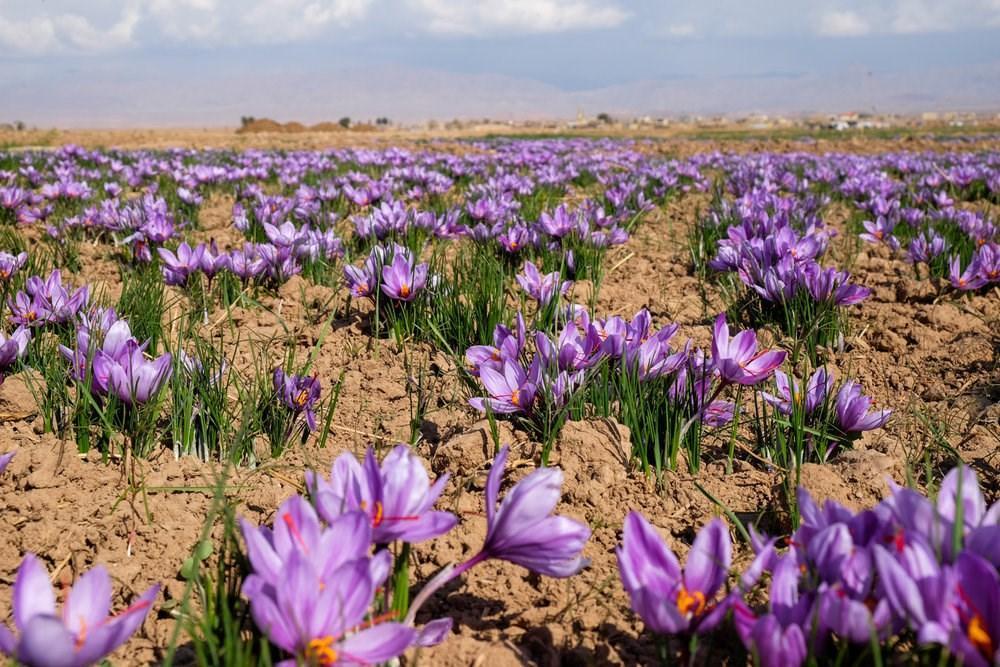 تکمیل محصولات دانش بنیان کشاورزی دانشگاه آزاد اسلامی فسا با کشت مزرعه ای زعفران
