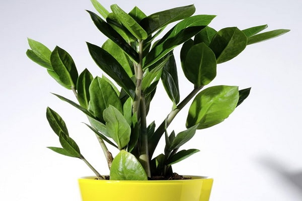 نگهداری از گیاه زاموفیلیا