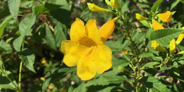 آشنایی با نحوه نگهداری و تکثیر گل تکوما